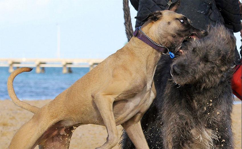 PaulH Saxon Dog Aggression