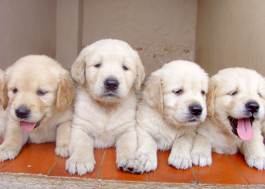 Freeimages Golden Lab Puppies In A Row