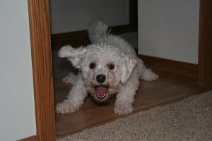 white fluffy barking