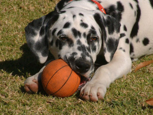 freeimages-dalmation-puppy-chewing-on-ball