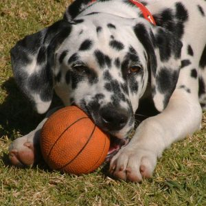 Freeimages Dalmation Puppy Chewing On Ball